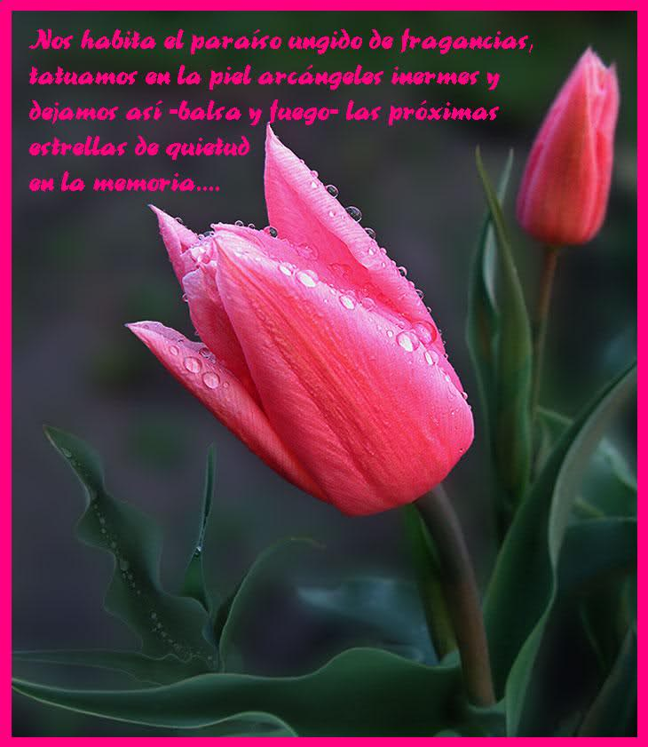 ¡¡¡¡Un tulipan para ti cada dia!!! 2dmgxw0
