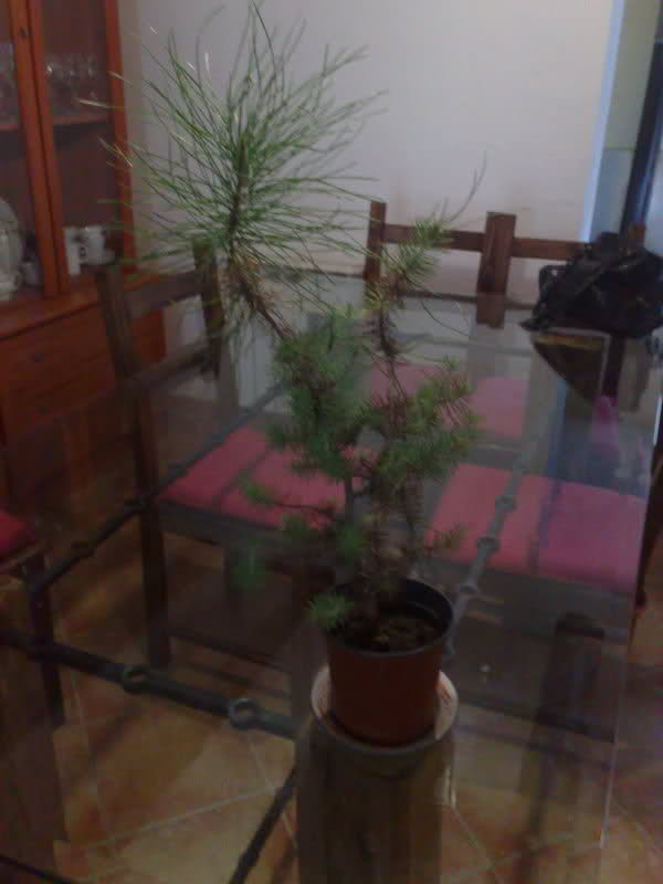 trasplantar un pino 5krggj