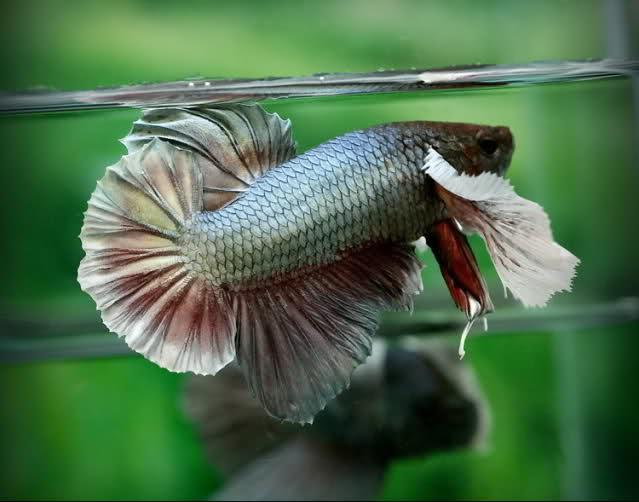 El Betta Big Ears Bfhycp