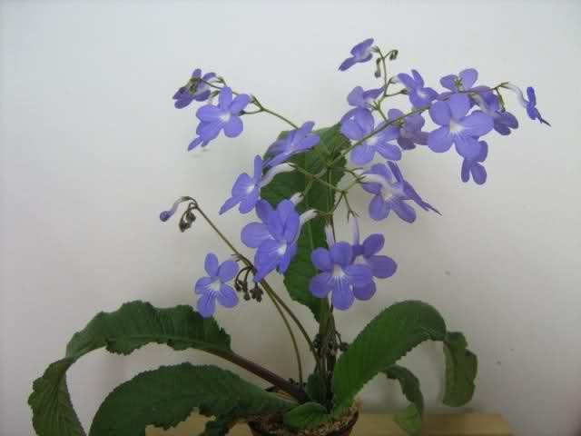 Violeta africana: pequeña desconocida F53qep
