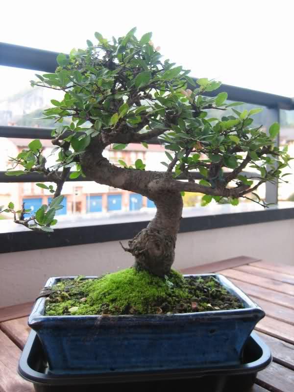 Mi primer bonsai 2n6w4k8