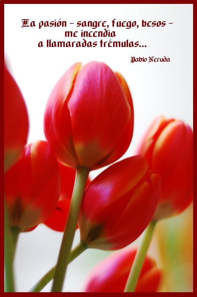 ¡¡¡¡Un tulipan para ti cada dia!!! Sgoa69