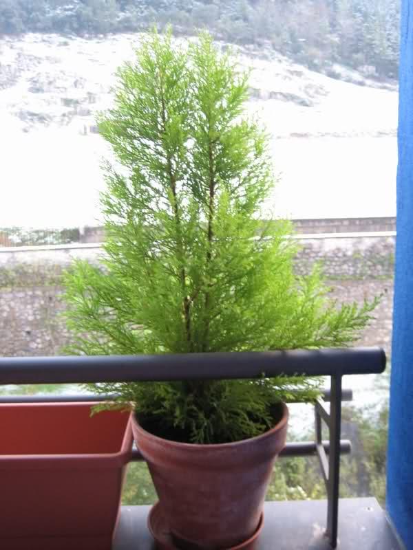 Hacer un bonsai de ciprés 2bwnqg
