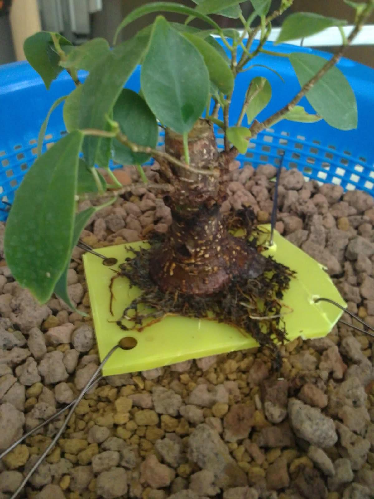Ficus ginsen evolucion  - Página 2 K99ap4