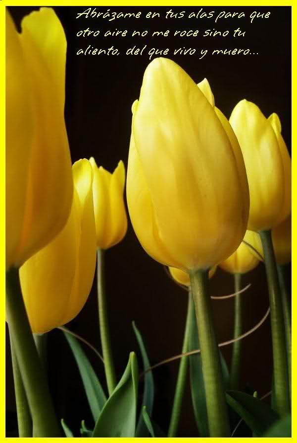 ¡¡¡¡Un tulipan para ti cada dia!!! N2bk92