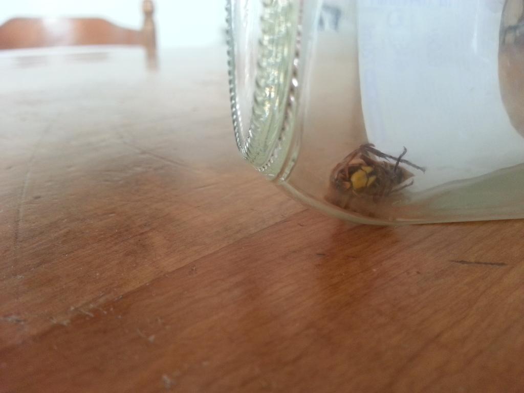 Invasion de frelons dans ma maison SOS 10mtr3k