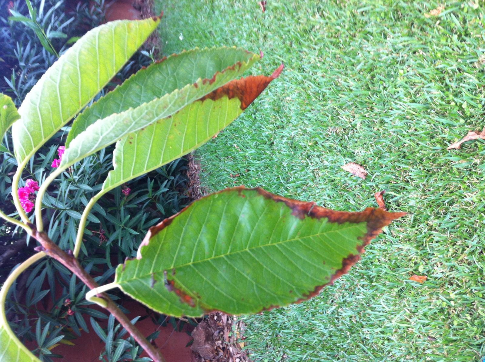 Bordes de las hojas marrones 200ts3q