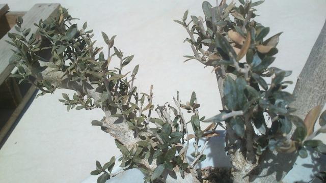 Ullastre ,se le secan las hojas y no tiene crecimiento??????? 29nv0oy