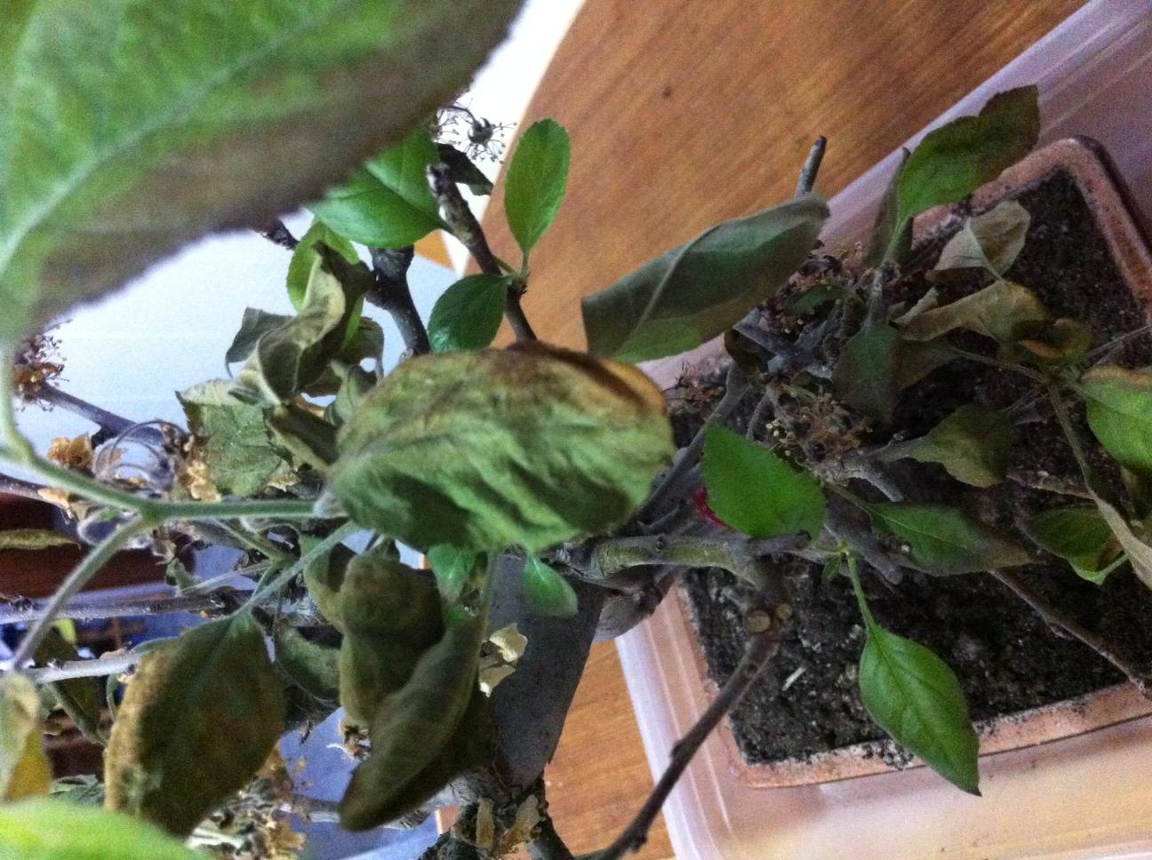 Hojas del bonsai un poco marrones 2ewcg80