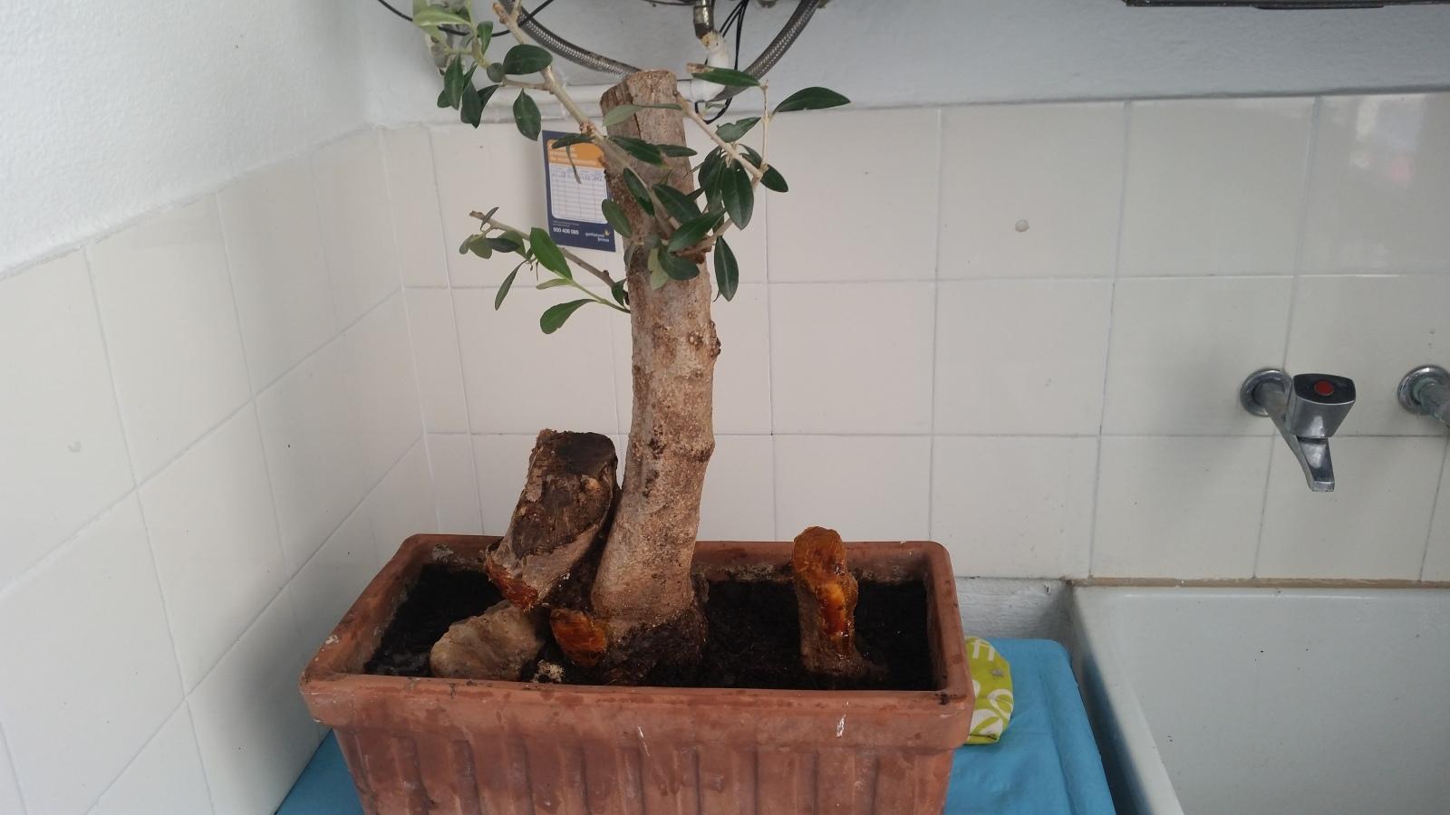 esqueje de tronco de olivo 2mrbogj