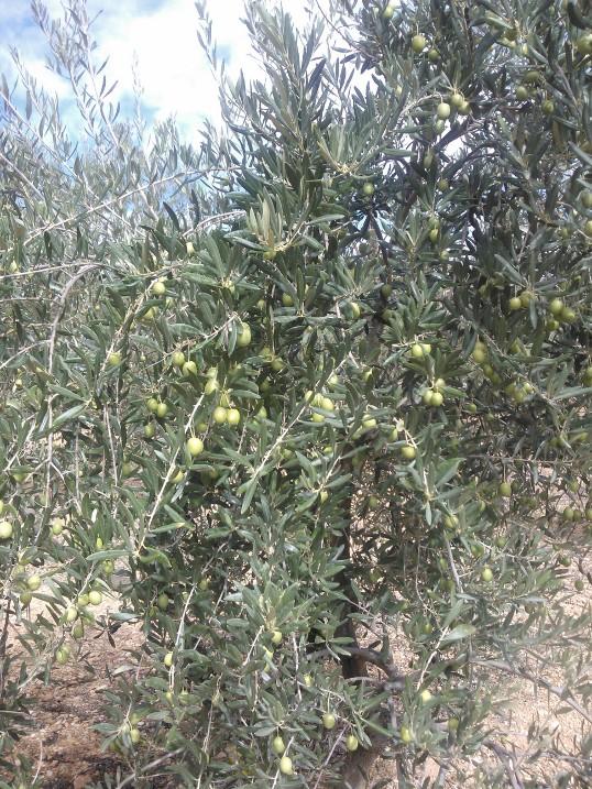 Variedad de olivos (Granada) 2u62oet