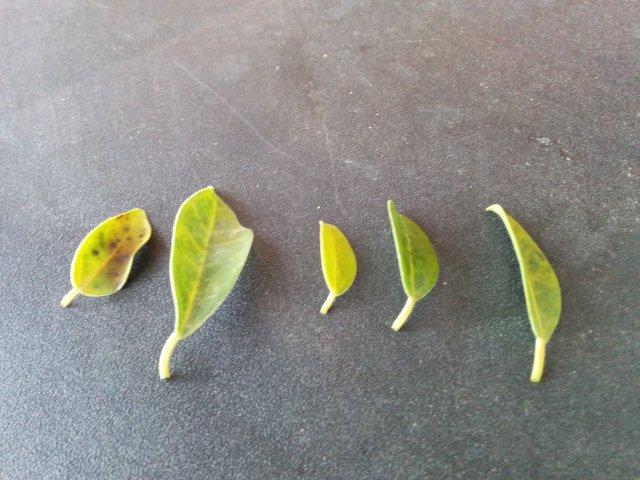 Hojas amarillas Ficus Retusa 30bpytd