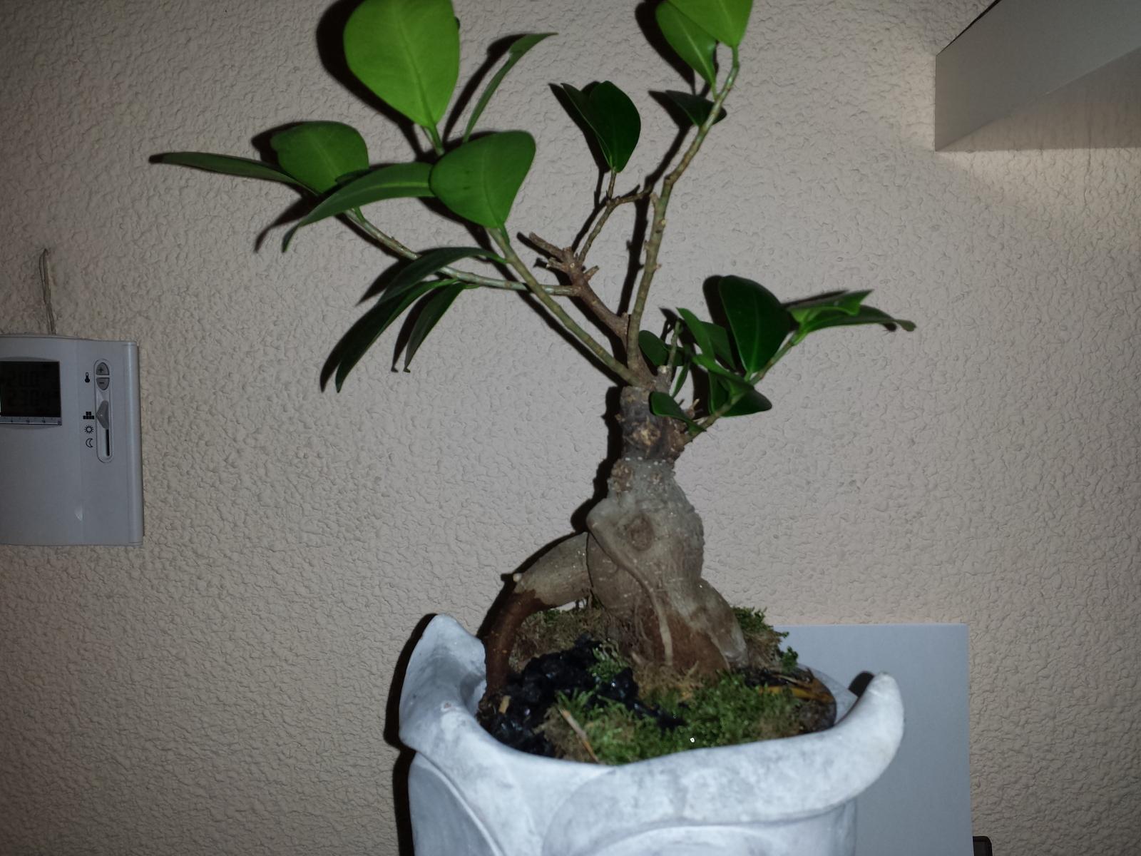 Mi bonsai ficus ginseng se está secando 33vfc4j