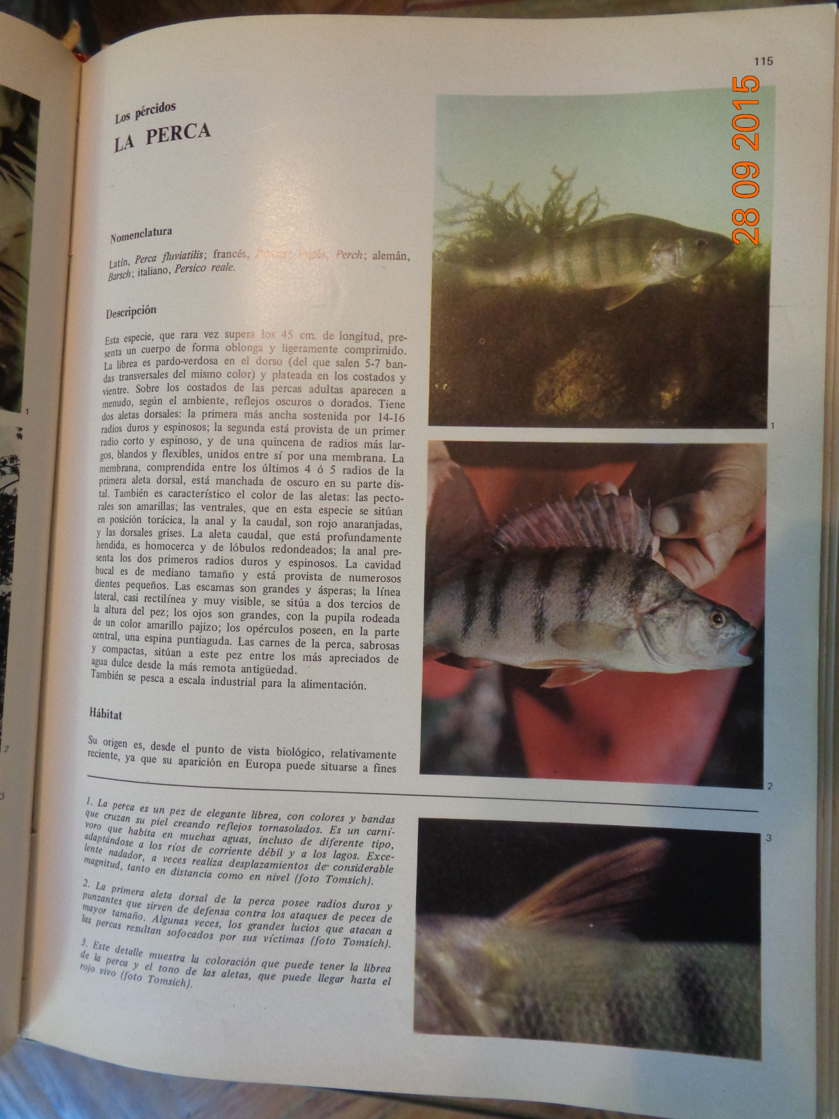 La Perca Común (Fluvialitis) 3539vz8