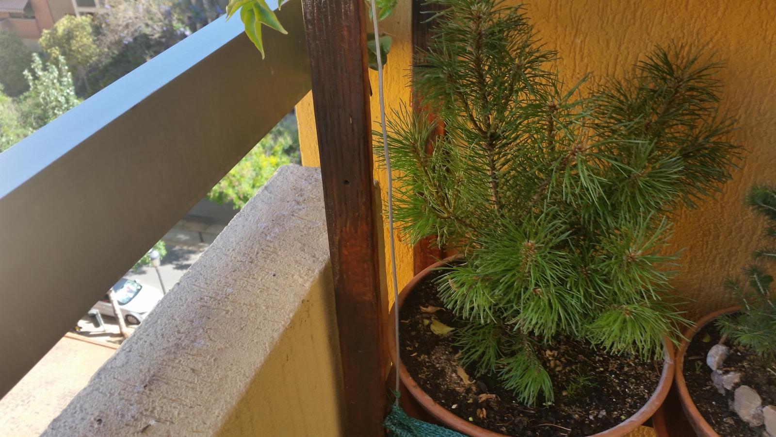 pino negro enano ( mugo ) 5b1c74