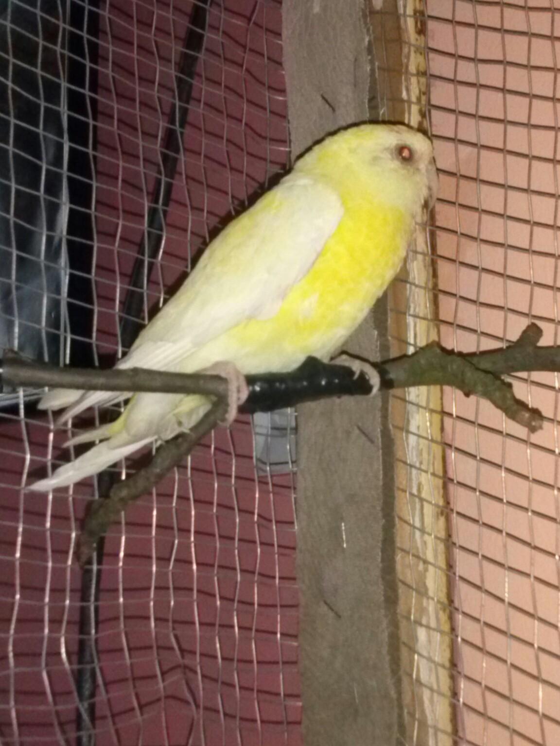 Pevajući papagaj(Psephotus  haematonotus) - Page 8 Ev7rz7