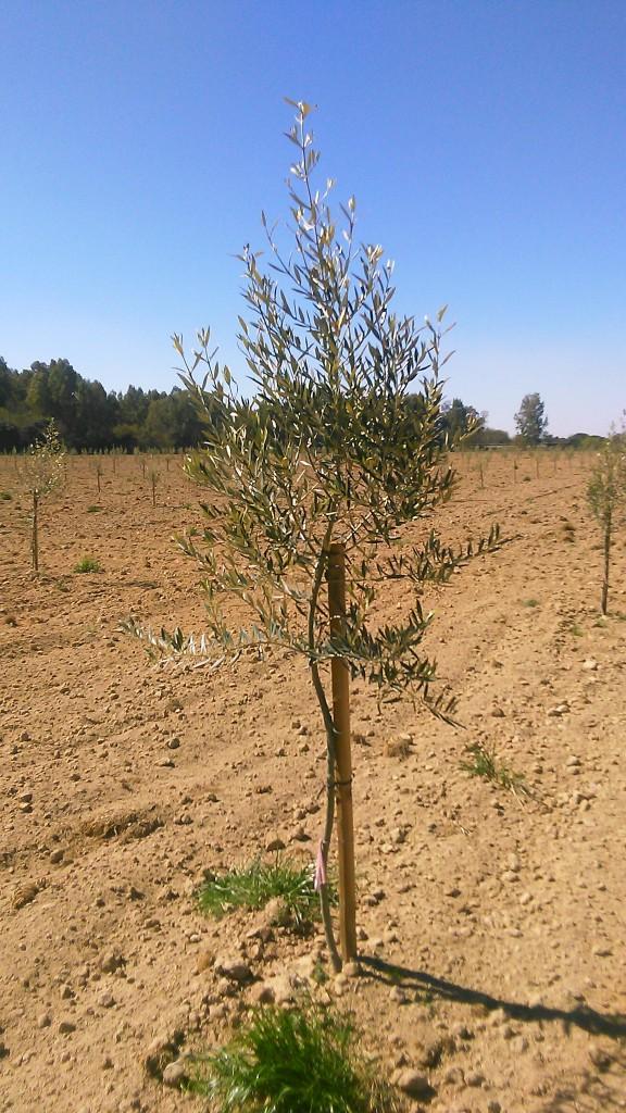 Crecimiento de plantones olivo - Página 2 Ff7d4x