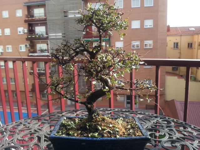 Caída de hojas por falta de riesgo...no se si mi Zelkova se está muriendo! Nohk03