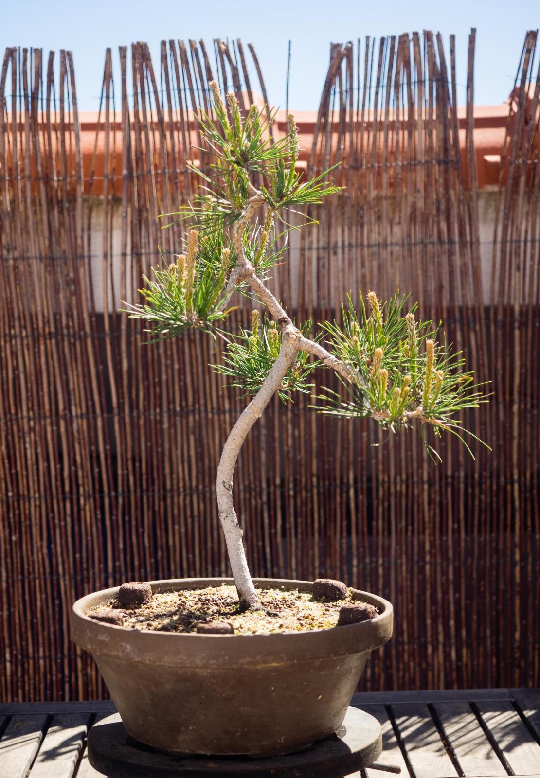 Pinos thunbergii de semilla (actualización 2015) Nwnf9y