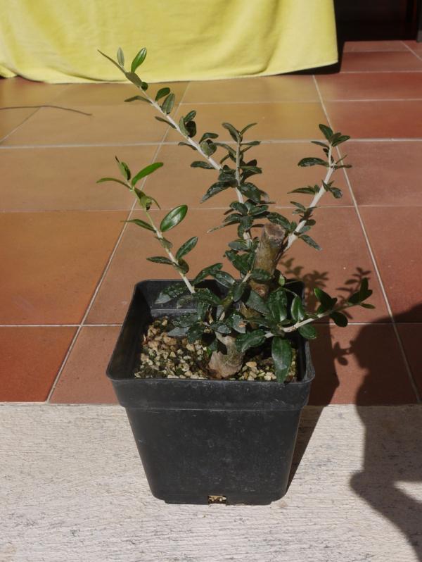 Mi primer olivo yamadori (ACTUALIZADO A VI/2018) Nzq742