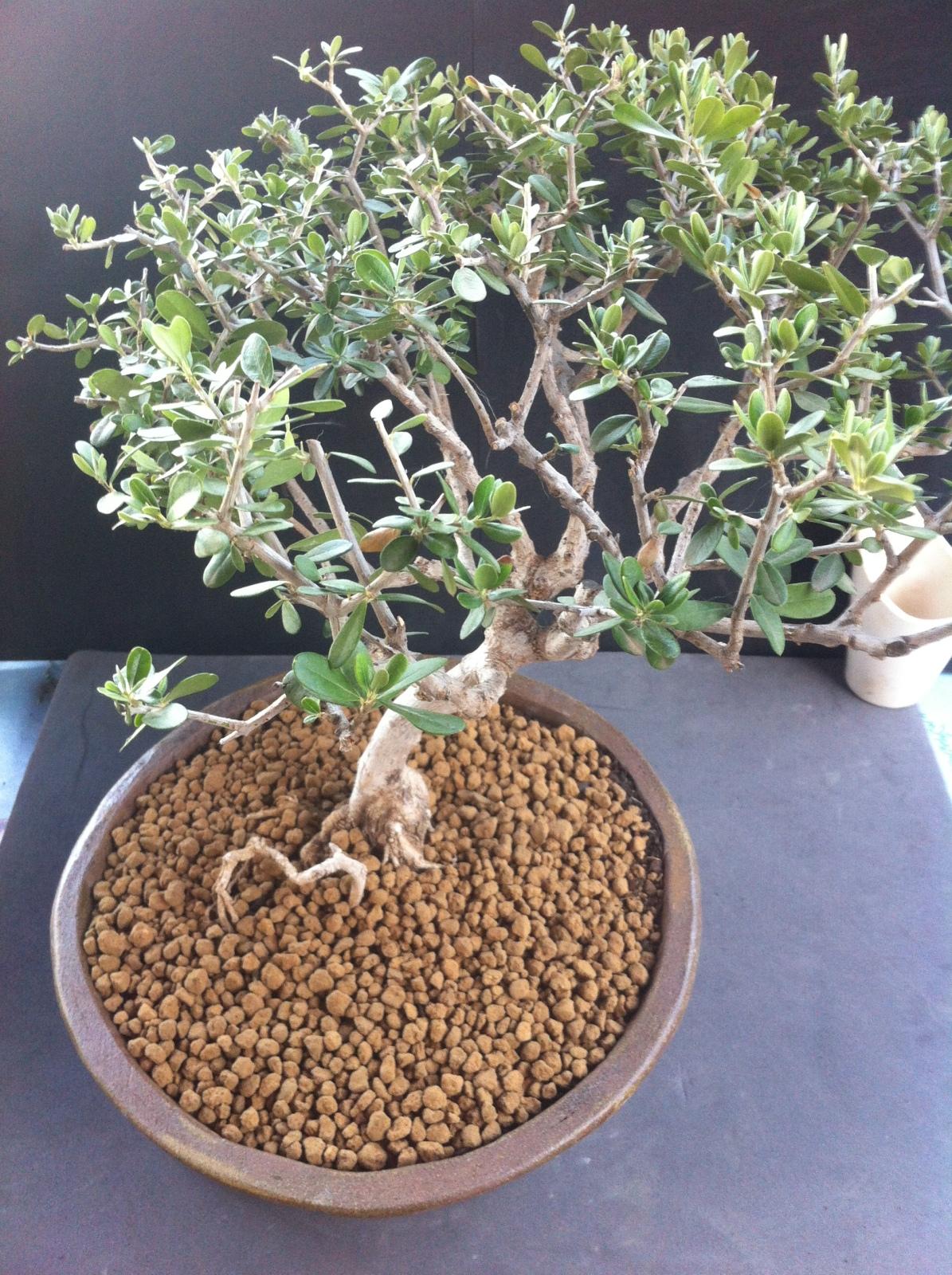 Poda y trasplante de olivo 14ddq8x