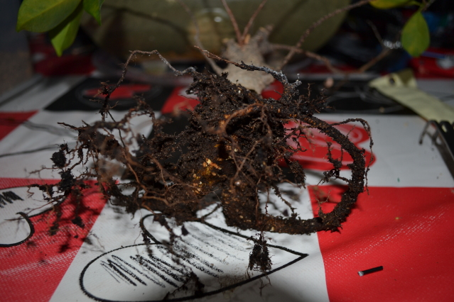Recuperar urgente un Ficus Retusa 1675d14