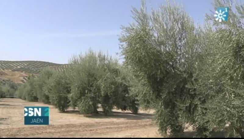Estrategia para evitar la vecería en el olivar 1tvimr