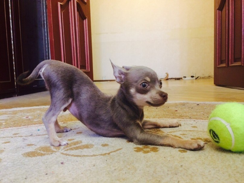 Идентификация собаки -чихуа или нет? - Страница 2 1z5nt3k