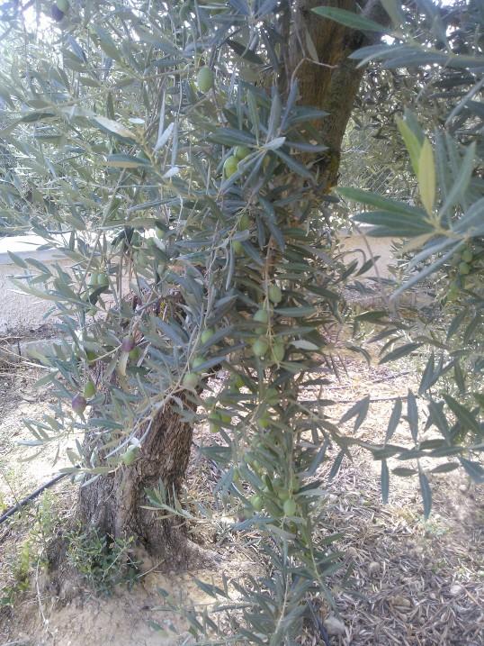 Variedad de olivos (Granada) 25zp5sn