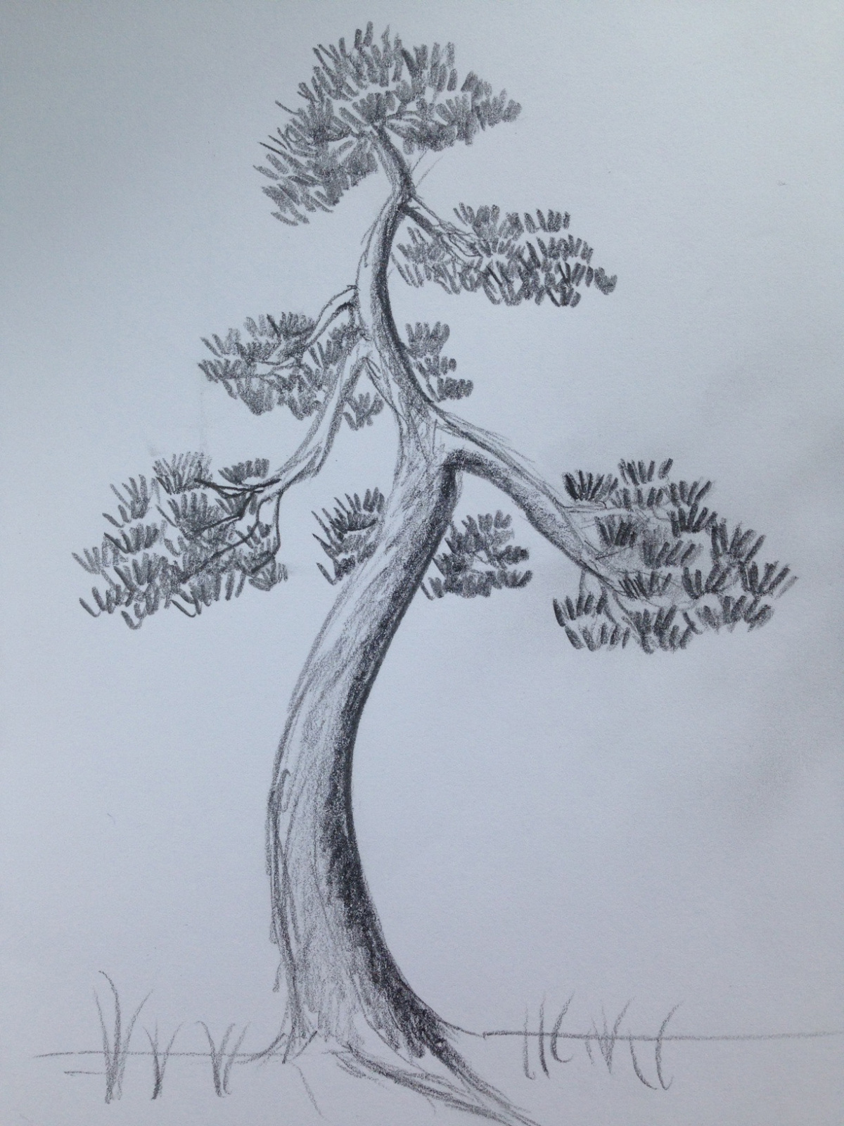 Pinos thunbergii de semilla (actualización 2015) 2djqclj