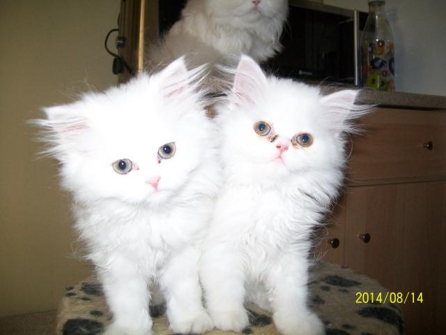 Χαρίζονται πέρσικα γατάκια 2hq9f9d