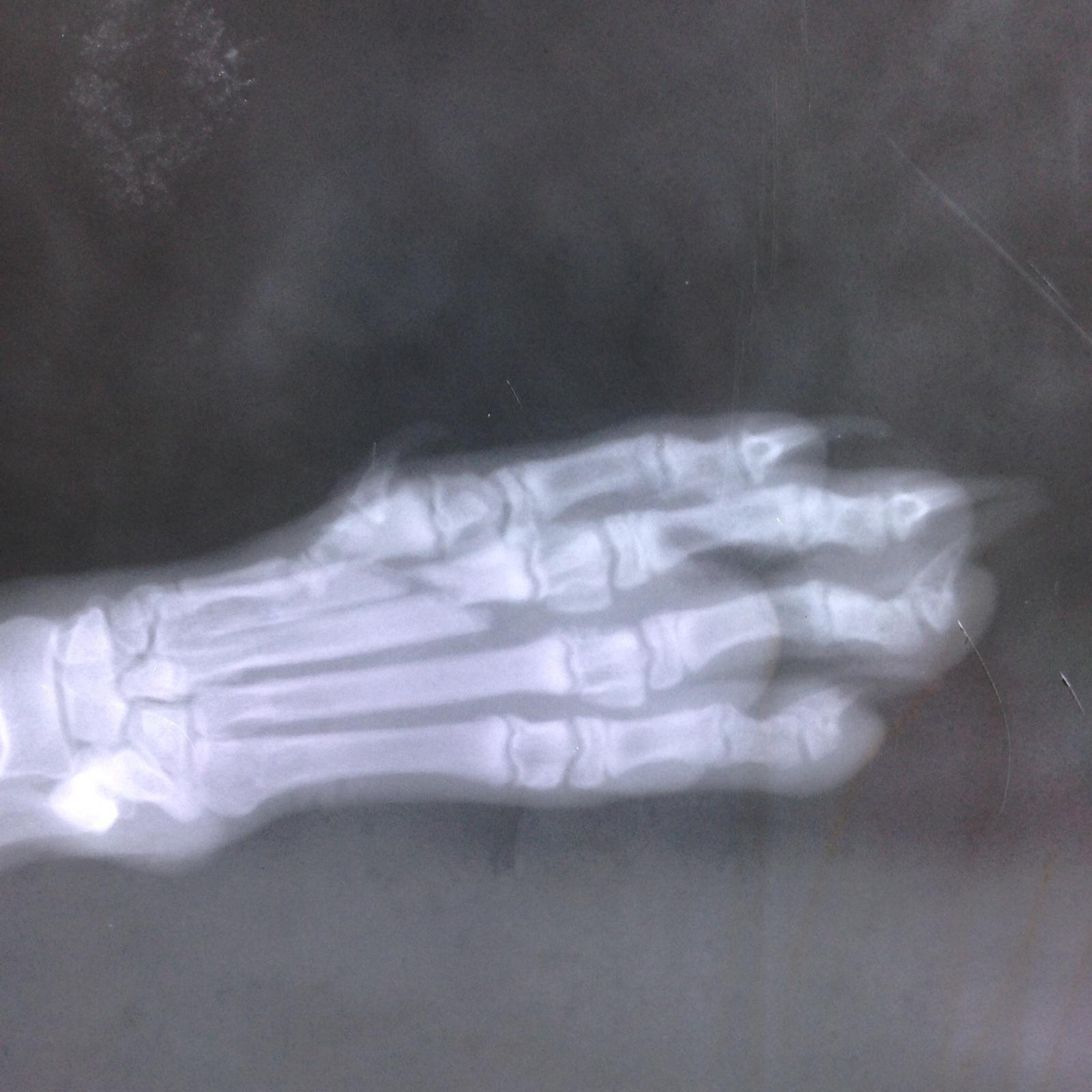 Перелом костей пясти у щенка.  2pydim9