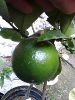Grepfruity - Citrus paradisi 2ql96gy