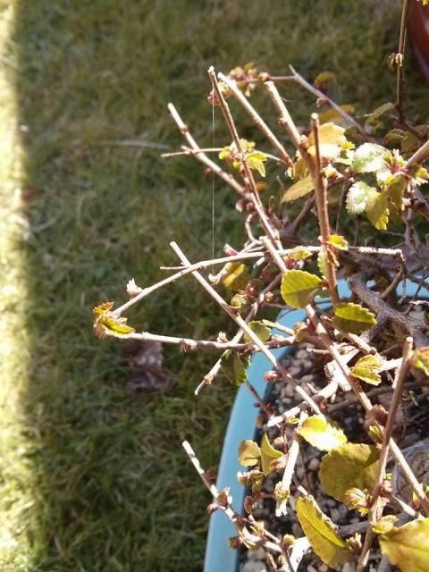 ¿¿¿Me tengo que preocupar por las telas de araña de mis bonsais??? 3359xlu