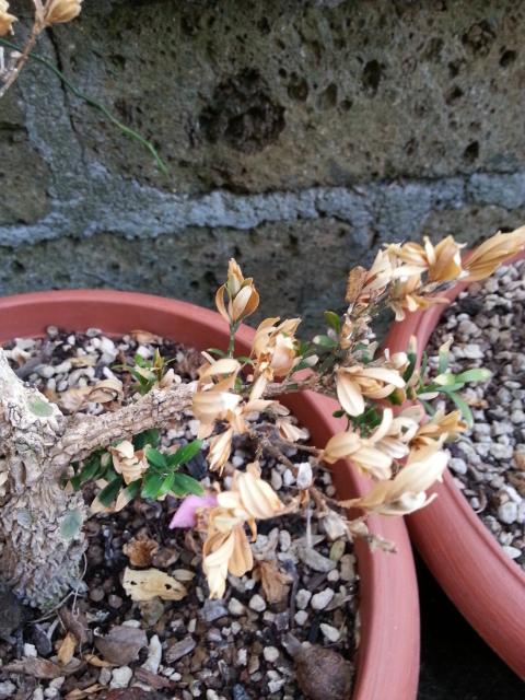 Bosso foglie secche 34s2lgo