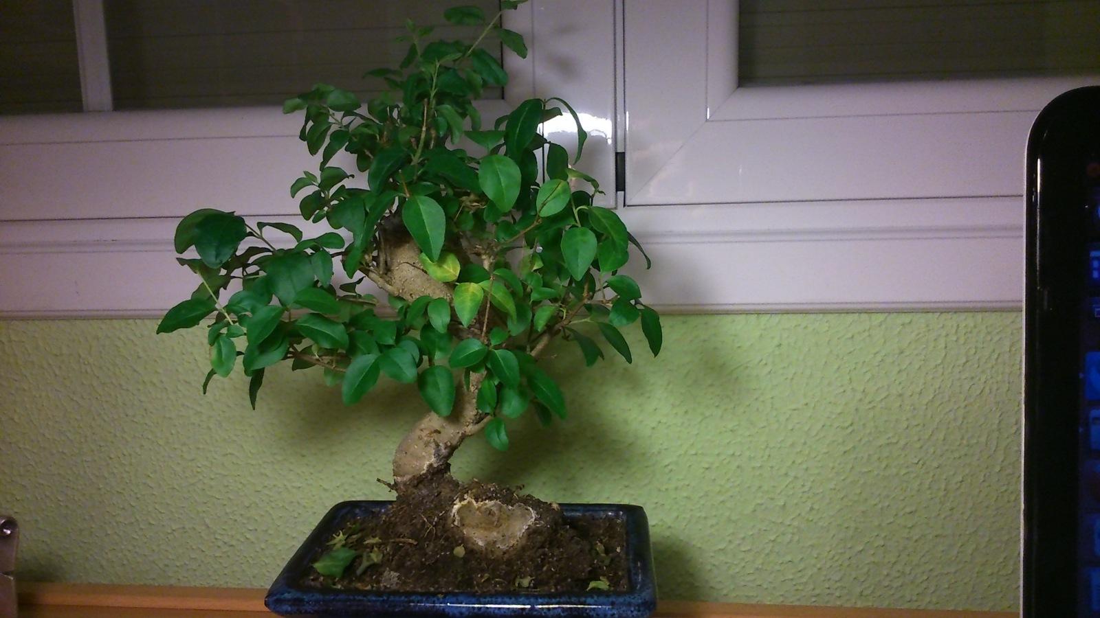Identificación de la especie del bonsai 537c53