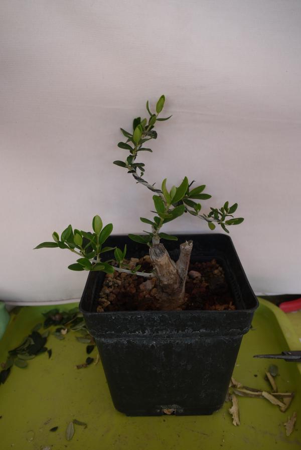 Mi primer olivo yamadori (ACTUALIZADO A VI/2018) - Página 2 9gfz1s
