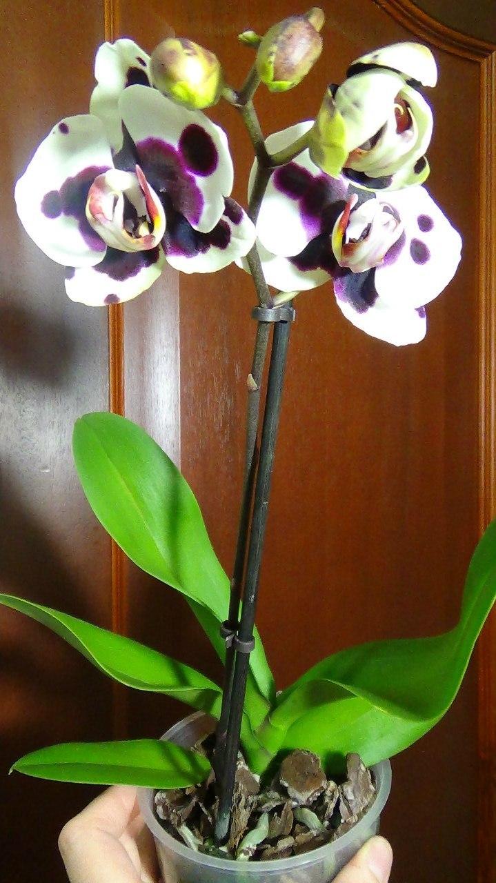 Совместная покупка орхидей Erz7kp