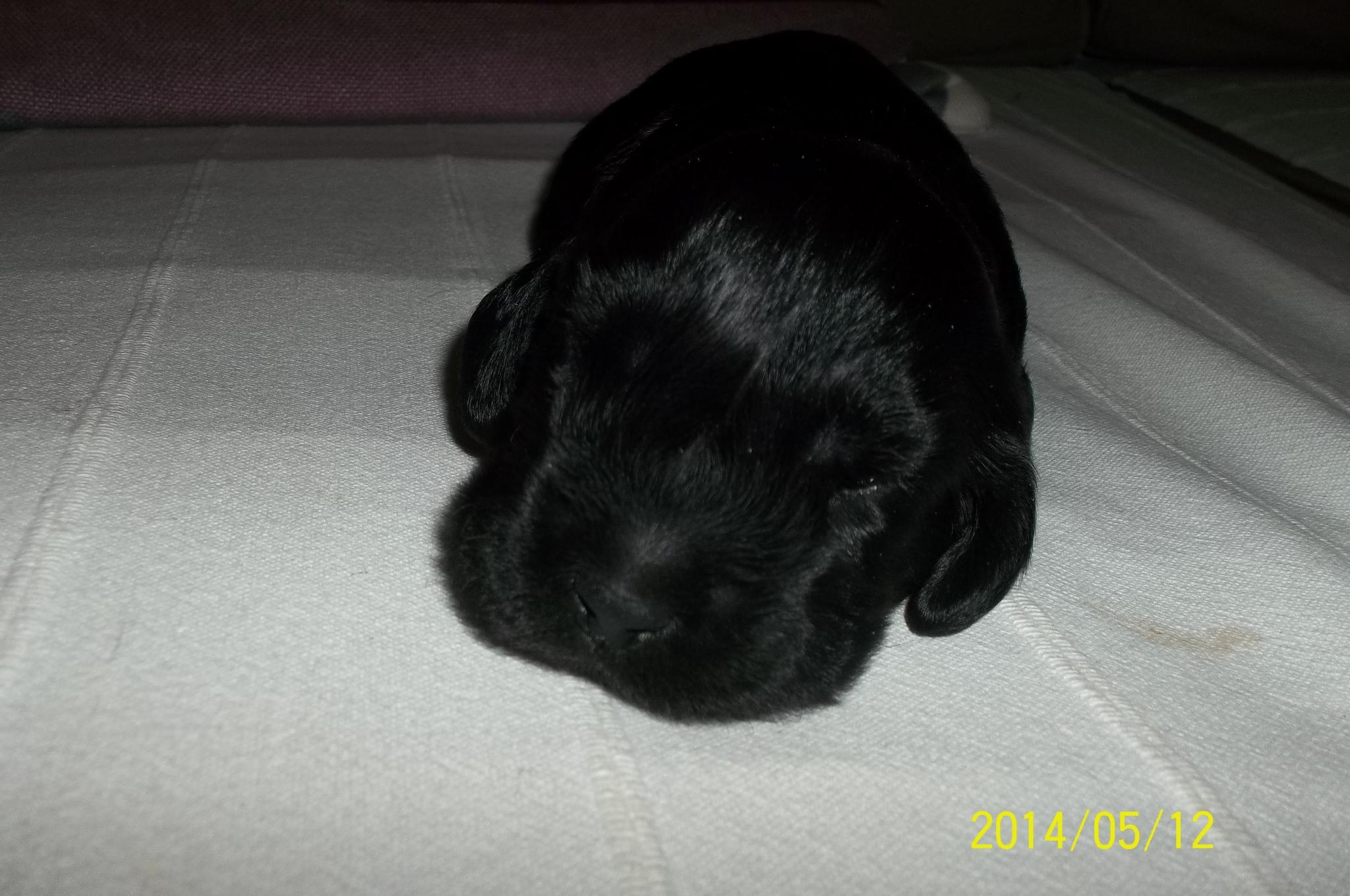 Ma chienne est au 63 eme jour de gestation... - Page 2 Euiucz