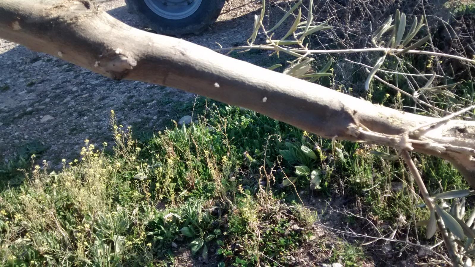 Barrenillos del olivo F25y0z