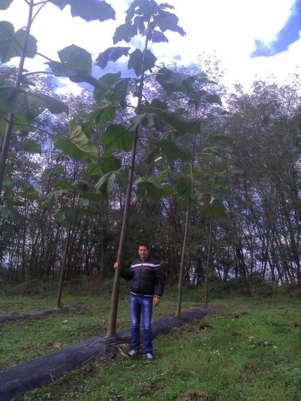 Paulovnija brzorastuće drvo Ilm8f8