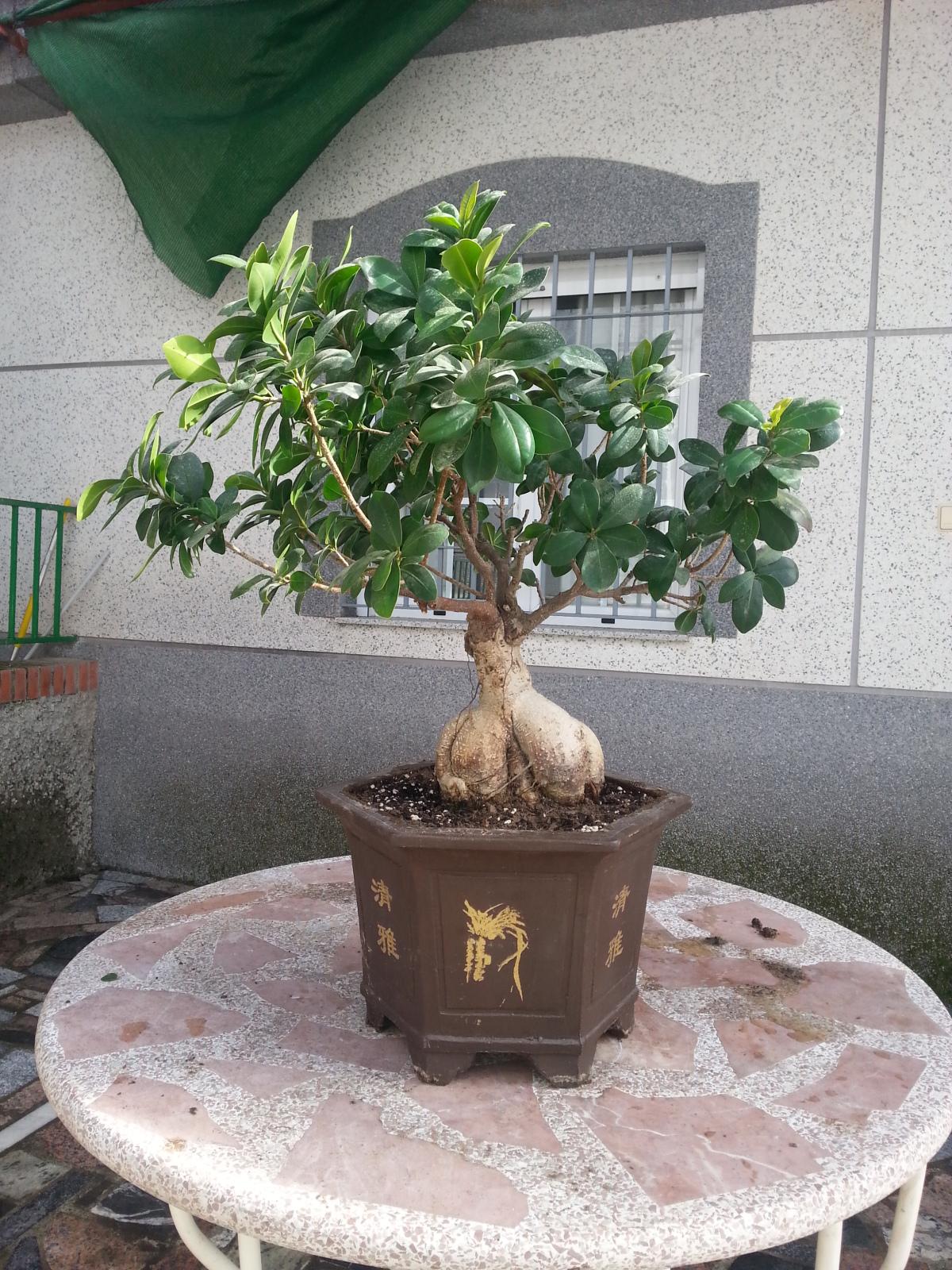 Mi Ficus Ginseng y yo - Evolución Sq70d3