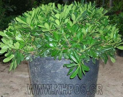 Εικόνες Φυτών... Swd749