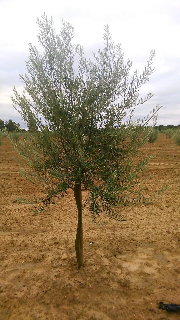 Crecimiento de plantones olivo - Página 2 Xfnfbq