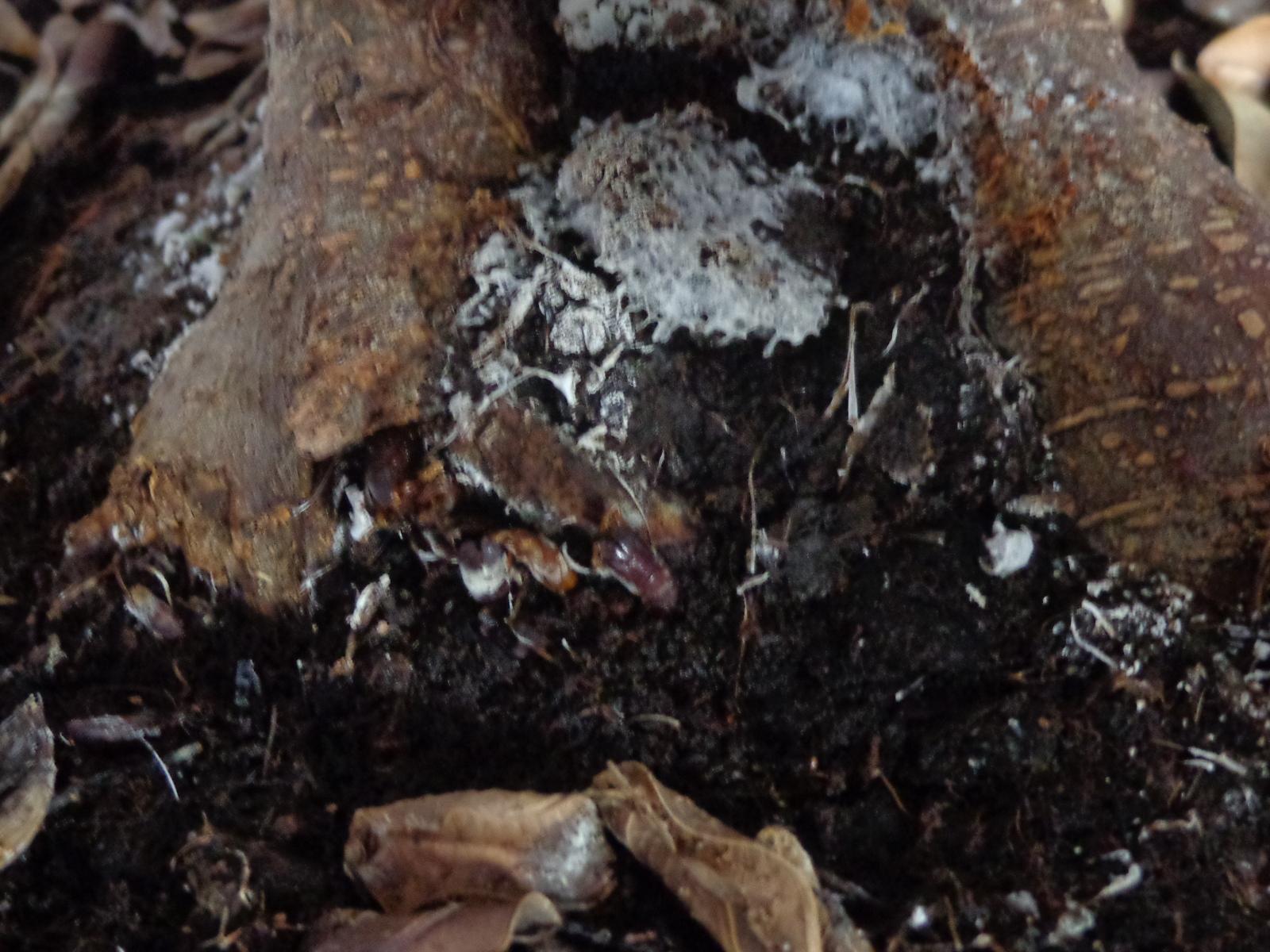 Plaga en mi bonsai ¡AYUDA! 10nbwjn