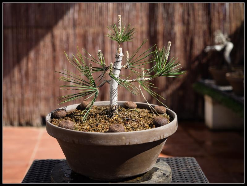 Pinos thunbergii de semilla (actualización 2015) 10ymb2e