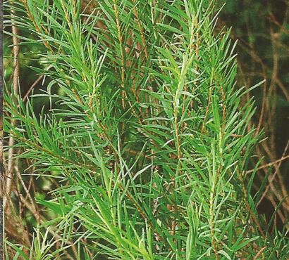 ČAJEVAC  (Melaleuca alternifolia ) 21jp01y