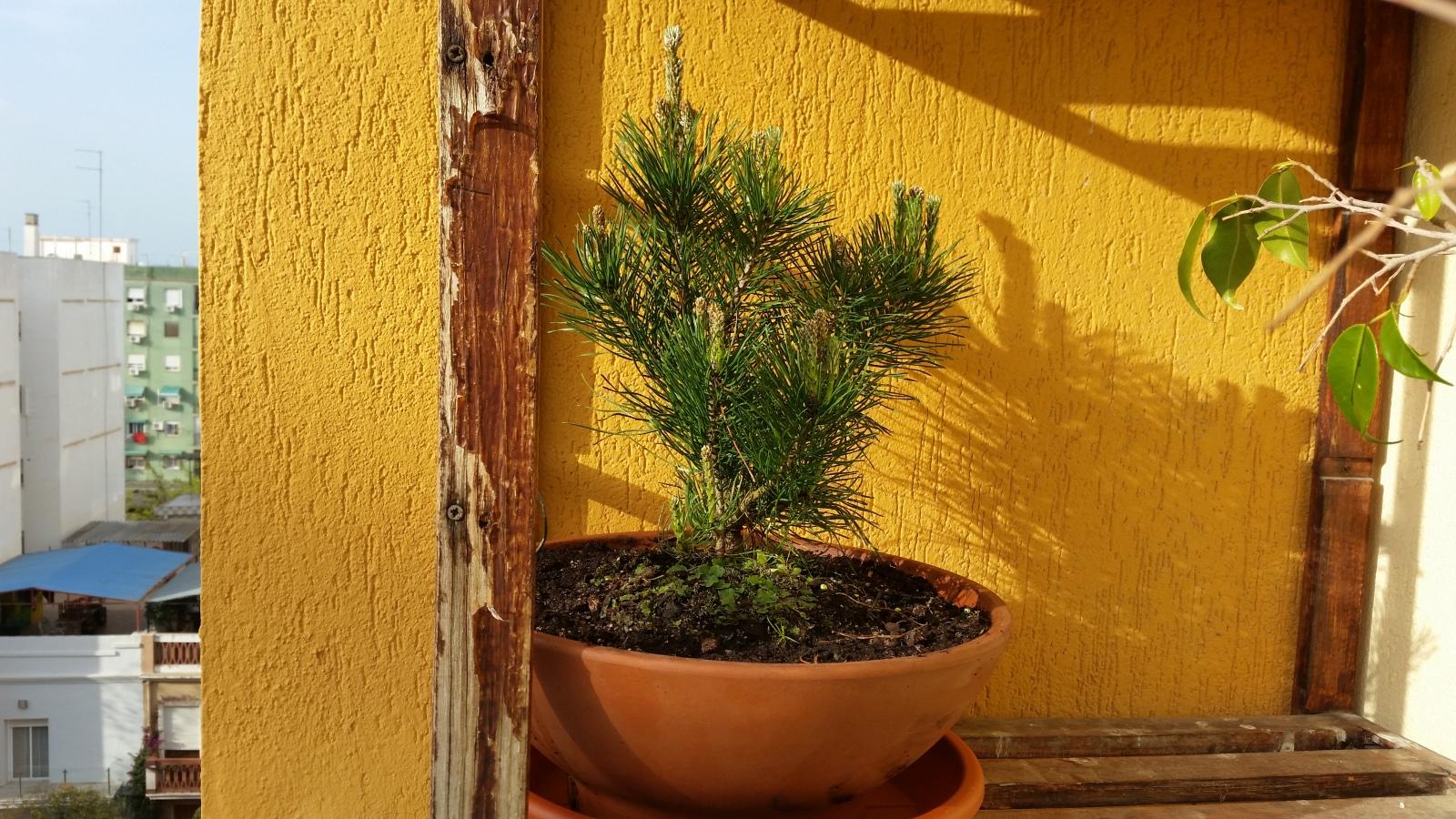 pino negro enano ( mugo ) 2h2f906