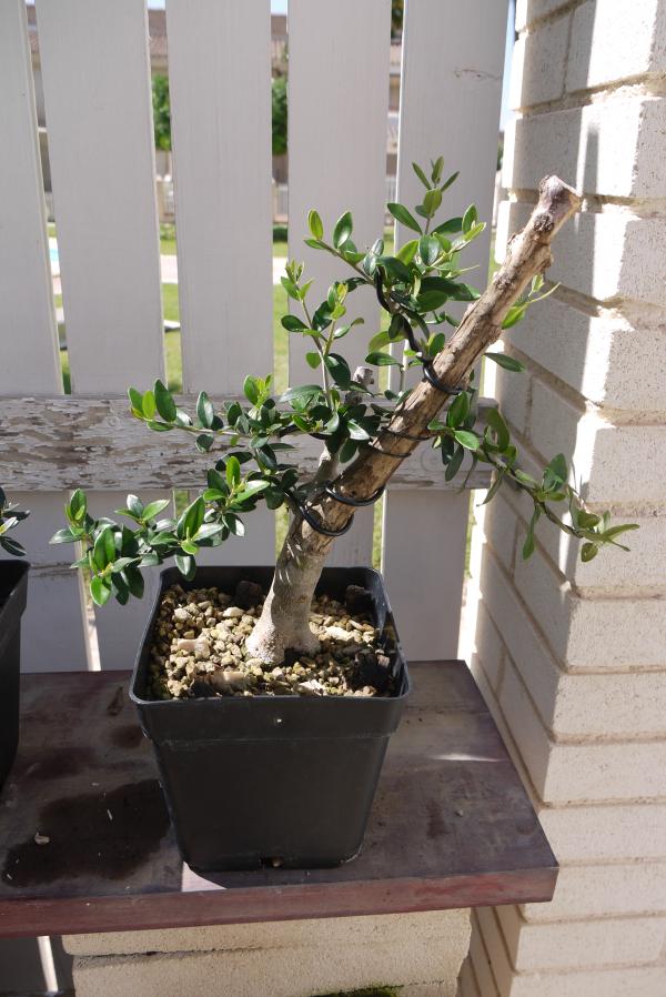 Mi primer olivo yamadori (ACTUALIZADO A VI/2018) - Página 2 2llinwo
