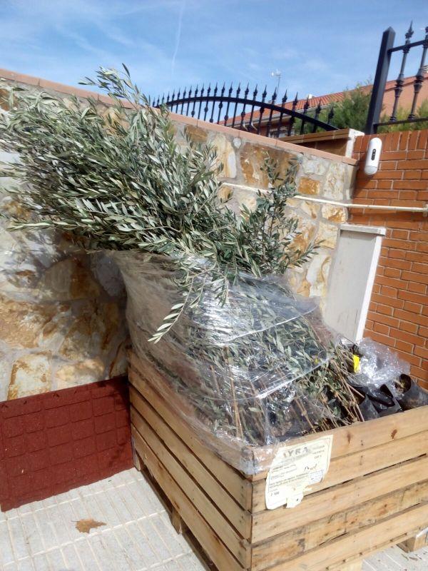 Crecimiento de plantones olivo - Página 2 2lthoiv